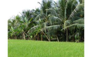 photo de palmiers en zone rurale